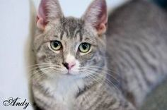 I'm so sweet. Adopt me? Andy is Short Hair-Gray Cat in Manahawkin, NJ. Andy, Grey Tiger with White, Kitten/Young Adult Female. Very playful....