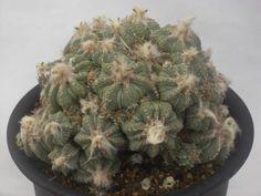 アズキテウム リッテリー 花籠
