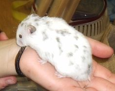 Polywhite Dominant Spot SH Syrian Hamster - only a breeder will sell you a hamster like that! Syrian Hamster, Hamster Stuff, Cute Small Animals, Cute Animal Photos, Cute Hamsters, Dwarf Hamsters, Hamster Species, Pet Rodents