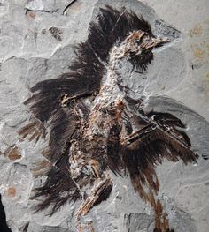 Feathers on This 130-Million-Year-Old Fossil Still Contain Traces of Color | Geology IN