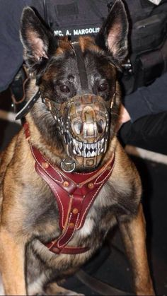 All service dogs need this kind of muzzle! Military Working Dogs, Military Dogs, Police Dogs, Malinois Dog, Belgian Malinois, War Dogs, German Shepherd Dogs, German Shepherds, Shepherd Puppies