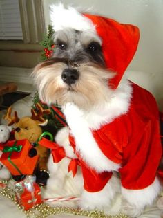 christmas schnauzer pictures - Google Search