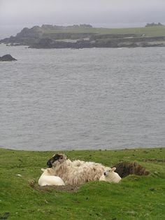 Sheep on the Great Blasket Island, Ireland
