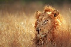 Photo about Big male lion lying in dense grassland - Kruger National Park - South Africa. Image of africa, rest, african - 19951473 Safari Zanzibar, Tanzania, Seychelles, Parc National Kruger, Lion Hunting, Areas Protegidas, Male Lion, Game Reserve, Mundo Animal