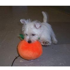 .... Max, our playful Westie puppy!