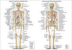 Bones Of The Body Anatomy Skeletal System Labeled Diagrams Of The Human Skeleton. Bones Of The Body Anatomy Human Anatomy Of The Human Body Contains Many Different Systems. Bones Of The Body Anatomy Guide To All The Bones In Your… Continue Reading → Human Skeleton Bones, Skeleton Anatomy, Bones Human, Human Skeleton Labeled, Skeleton Arm, Human Body Anatomy, Human Anatomy And Physiology, Anatomy Bones, Anatomy Organs