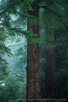 oregon trees