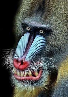 Mandrill – taken at Melbourne Zoo by Natalie Manuel. Wild Animals Photos, Animals And Pets, Baby Animals, Funny Animals, Cute Animals, Primates, Mammals, Especie Animal, Mundo Animal