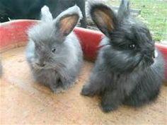 Baby angora bunnies i want one soo bad French Angora Rabbit, Angora Bunny, Rabbits For Sale, Baby Animals, Cute Animals, Guniea Pig, Baby Buns, Bunny Hutch, Animal House