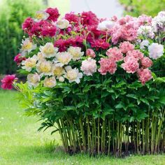 pop of color to your garden or flower patch with these peonies, showcasing lovely red blooms. Product: Set of 4 peony bu.a pop of color to your garden or flower patch with these peonies, showcasing lovely red blooms. Product: Set of 4 peony bu. Flower Patch, Plantation, Flower Seeds, Dream Garden, Pink Garden, Trees To Plant, Garden Inspiration, Beautiful Gardens, Perennials