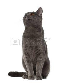 Chartreux chat g de 9 mois assis devant un fond blanc Banque d'images