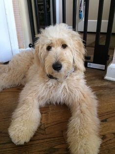 Baby Puppies, Cute Puppies, Cute Dogs, Dogs And Puppies, Doggies, Goldendoodle Haircuts, Goldendoodle Grooming, Animals And Pets, Baby Animals