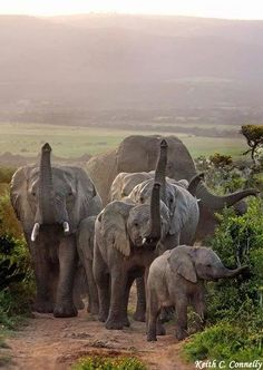 Elephants in the wild, take a look folks it's fast disappearing...