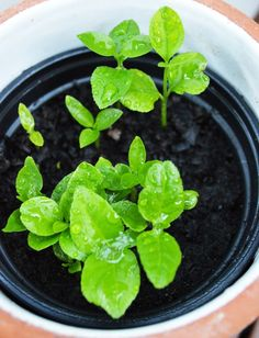 Spinach, Patio, Vegetables, Balcony, Plants, Gardening, Food, Lawn And Garden, Essen