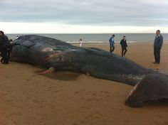 Sperm whale washed up on Hunstanton beach 2012