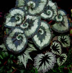 Escargot-Begonia - Flickr - Photo Sharing!