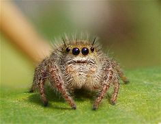 A baby jumping spider....forget our fears...this one was too cute to pass up~