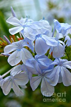 Light Blue by Clare Bevan  #plumbago #clarebevan #flowersinspain
