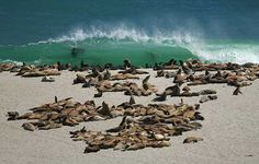 Channel Islands National Park- Sea Lions, Point Bennett, San Miguel Island