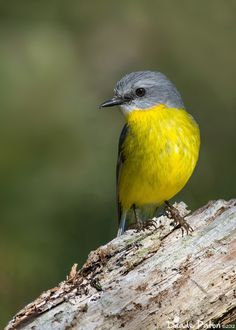 Eastern Yellow Robin from Australia ,related to Fairy Wren and Corvids not closely related to American or European Robins.