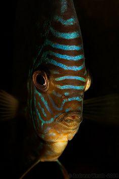 Freshwater fish - Blue Discus - Blauer Diskus - Symphysodon aequifasciatus haraldi