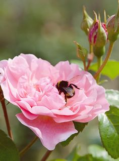 Rosa 'Strawberry Hill' with bee