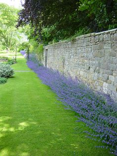 catmint border 12 to 16 inches (Med height); attracts butterflies and humming birds; can come in white, usually purple or blueish; long blooming; love the stone wall.