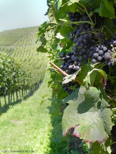 Red grapes growing in the vineyards of Niederweiler Germany via la Domestique