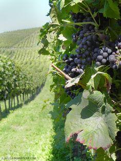 Red grapes growing in the vineyards of Niederweiler Germany via la Domestique