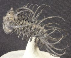 Middle Devonian trilobites of Morocco, include this 380 million year old Koneprusia brutoni.
