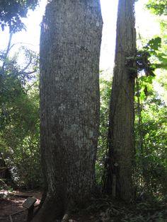 Barriguda palmeira rosa - Boca da Onça - Bonito - Mato Grosso do Sul