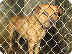 Henderson, NC - Pit Bull Terrier Mix. Meet Hunter a Dog for Adoption.