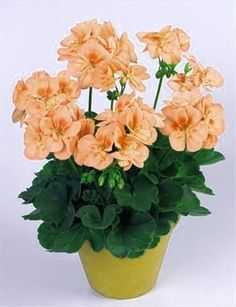 Cheap garden flowers, Buy Quality perennial garden flowers directly from China geranium seed Suppliers: 100 Pcs/bag Geranium Seeds Rare Variegated Geranium Seed Potted Winter Perennial Garden Flower for Bonsai Plant for Home Garden Wild Geranium, Geranium Flower, Perennial Geranium, Tall Indoor Plants, Indoor Plant Pots, Container Flowers, Container Plants, Rare Flowers, Beautiful Flowers