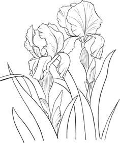 Garden German Iris or Iris Germanica coloring page from Iris category. Select from 22031 printable crafts of cartoons, nature, animals, Bible and many more. Iris Drawing, Plant Drawing, Drawing Sketches, Art Drawings, Colouring Pages, Adult Coloring Pages, Coloring Books, Watercolor Flowers, Watercolor Art