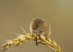 Harvest Mouse by Lauren Scott on 500px