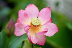 https://flic.kr/p/uKCWhs | はす (蓮) /Nelumbo nucifera | 20150704-DSC06684  はす (蓮) /Nelumbo nucifera ハス科ハス属の水生多年草。英名 Sacred water lotus   巨椋大黒 咲くやこの花館