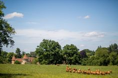 Domaine des Etangs - Les vaches Limousines #massignac #france #cow #limousine