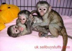 Other Business Capuchin Monkey Pet Monkey Animals