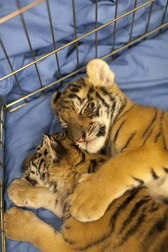 baby tigers. at the Alabama Gulf Coast Zoo. The Little Zoo That Could. Gulf Shores.