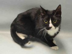 ATHENA - A1075079 - - Brooklyn  Please Share:    **TO BE DESTROYED 05/31/16** FRIGHTENED! The ACC may have her written down as a stray, but terrified ATHENA may just have stepped outside for a bit of fresh air, the day she was taken to the ACC and locked into a cell. The shelter commented about her clean coat and lack of external parasites, which are two features that more often apply to lost pets, than to life-long strays. Athena has some dental disease but the thing that&