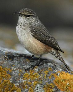 Rock Wren can be found at Leasburg Dam State Park, which is part of the SW NM Birding Trail (Resident Bird)