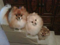 Cute little family #pomeranian