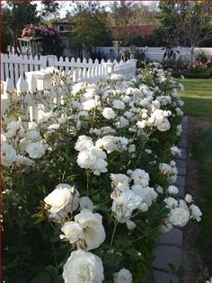 gardens fence Hedge of White Iceberg Rose Hedge of White Iceberg Rose Cottage Rose, Garden Cottage, White Roses, White Flowers, Buy Flowers, Flowers Online, White White, Beautiful Gardens, Beautiful Flowers