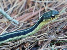 http://faaxaal.forumactif.com/t1784-photo-de-serpent-couleuvre-rayee-couleuvre-jarretiere-serpent-jarretiere-thamnophis-sirtalis-common-garter-snake