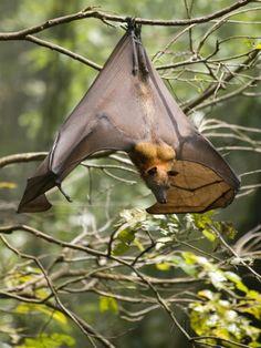 Fruit Bat (Flying Fox) (Chiroptera, Pteropodidae)