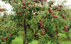 """Search Results for """"green apple tree wallpaper"""" – Adorable Wallpapers Tree Wallpaper, Cool Wallpaper, Wallpaper Pictures, Organic Fruit Trees, Fruit Tree Nursery, Create Your Own Wallpaper, Snow In Summer, Nature Hd"""