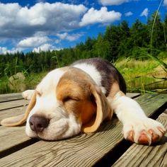 Sleeping beagle