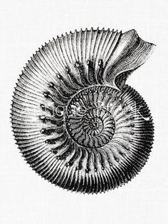 Imagen de antiguo amonita fósil ilustración por AntiqueStock