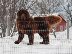 His name is Zek and I want him lol. We want a Newfoundland someday also!