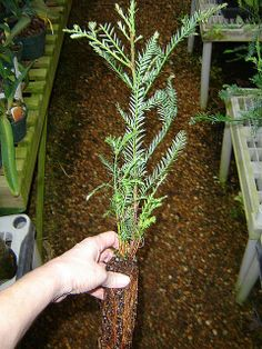 Nicely started California redwood tree - 18 inches high Genuine California Sequoia redwood tree Grows very fast, easy to grow Great for landscapes and for bonsai Wonderful for a classroom project Redwood Bonsai, Redwood Forest, Sequoiadendron Giganteum, Sequoia Sempervirens, Giant Sequoia Trees, Bonsai Wire, Garden Organization, Tree Seedlings, Big Tree